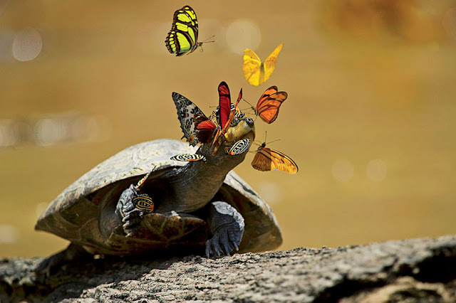 In Ecuador's Yasuní National Park, butterflies sip a yellow-spotted river turtle's tears. The mineral-rich liquid helps the insects reproduce. In exchange, the reptile gets a good eye-cleaning. (Click on photo for more information)